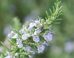 rosemary / (syn Salvia rosmarinus )