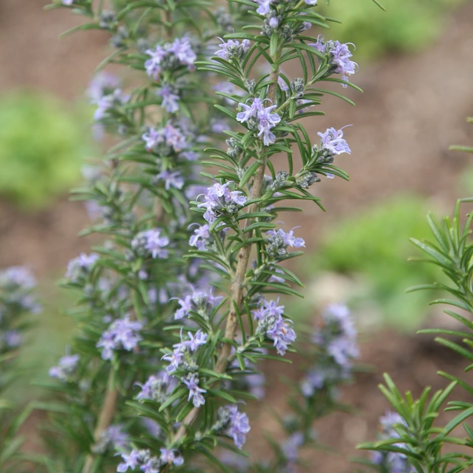 rosemary / Rosmarinus officinalis 'Miss Jessopp's Upright'