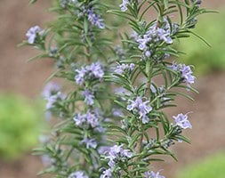rosemary / (syn Salvia rosmarinus ) 'Miss Jessopp's Upright'