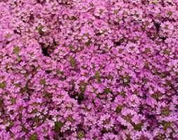 thyme / Thymus 'Bressingham'