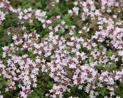 thyme / Thymus serpyllum 'Pink Chintz'
