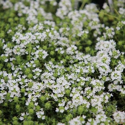 Thymus serpyllum Snowdrift
