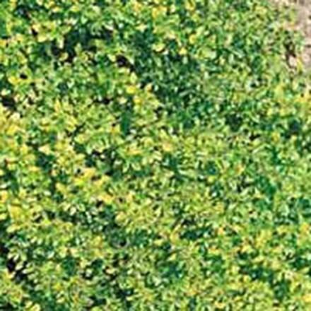 Thymus pulegioides Aureus