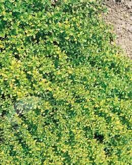 golden-scented thyme Thymus pulegioides 'Aureus'