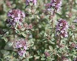 thyme / Thymus 'Silver Posie'
