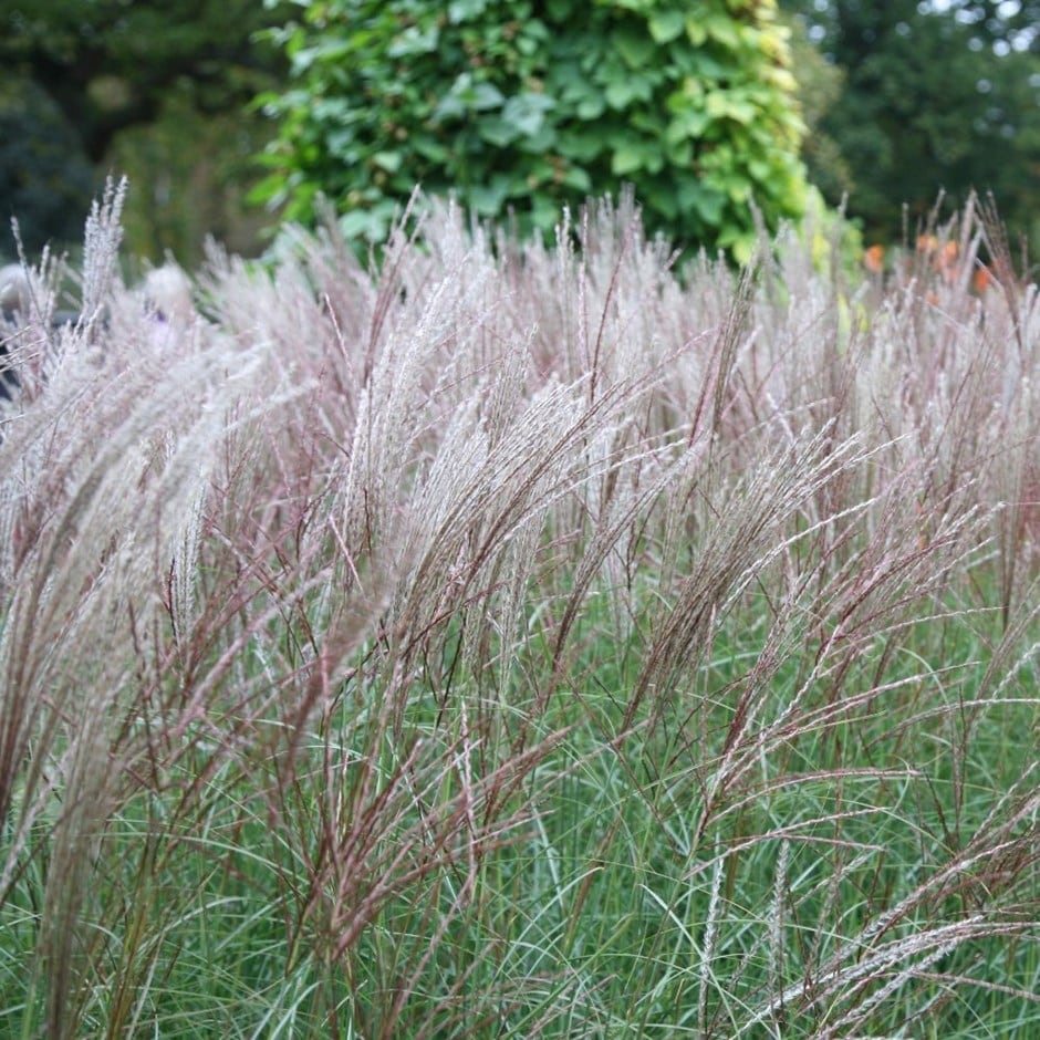 buy chinese silver grass miscanthus sinensis kleine silberspinne delivery by crocus. Black Bedroom Furniture Sets. Home Design Ideas