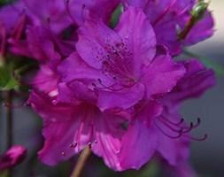 evergreen azalea