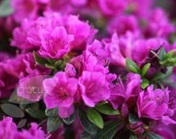 Rhododendron (Aronense Group) 'Fumiko'