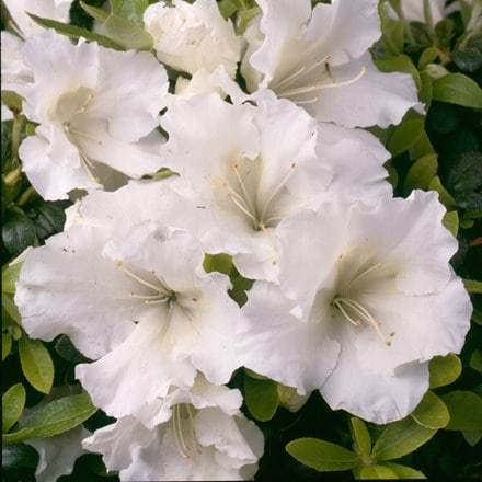Rhododendron Pleasant White