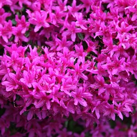 Rhododendron Hatsu-giri