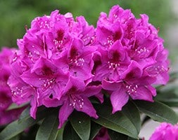 Rhododendron Anah Kruschke