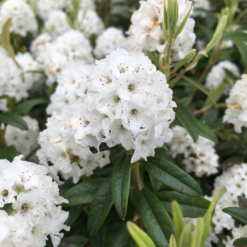 Buy Dwarf Rhododendron Rhododendron Arctic Tern