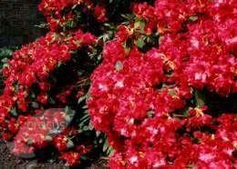 dwarf rhododendron Baden Baden
