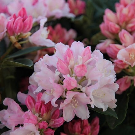 Rhododendron Dreamland