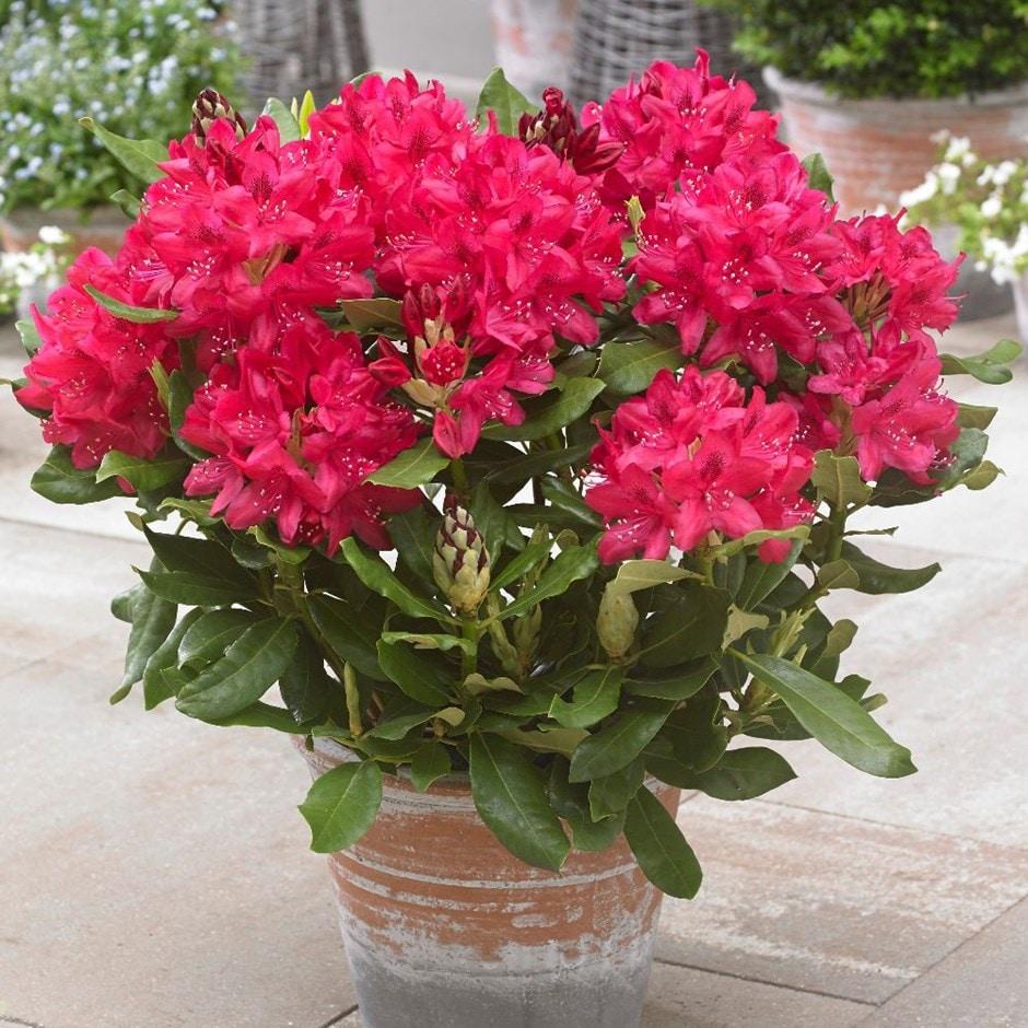 hybrid rhododendron
