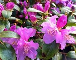 dwarf rhododendron