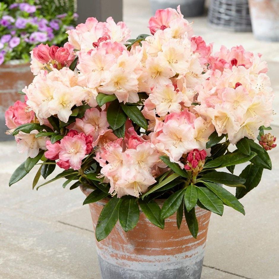 yakushimanum rhododendron