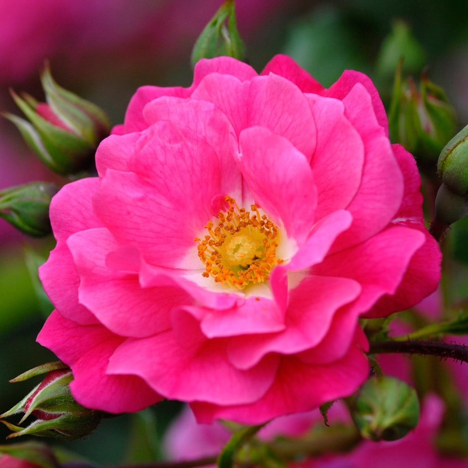 Buy rose pink flower carpet ground cover rose rosa pink flower rosa pink flower carpet noatraum pbr mightylinksfo