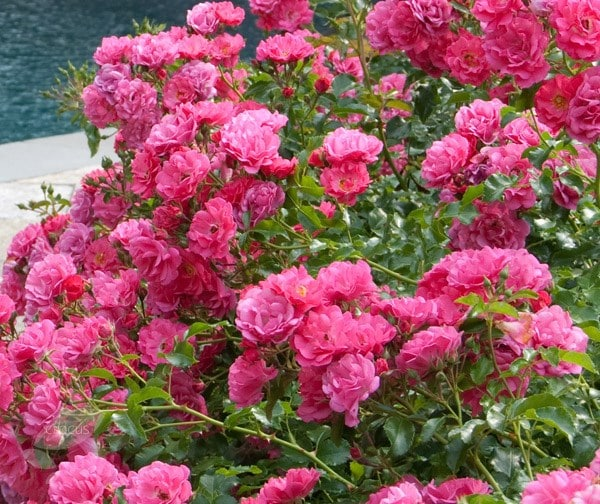 Buy Rose Pink Flower Carpet Ground Cover Rose Rosa Pink