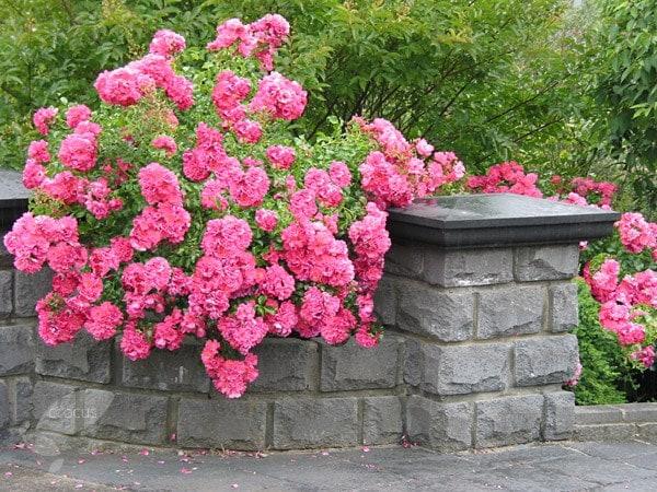 Buy Rose Pink Flower Carpet Ground Cover Rose Rosa Pink
