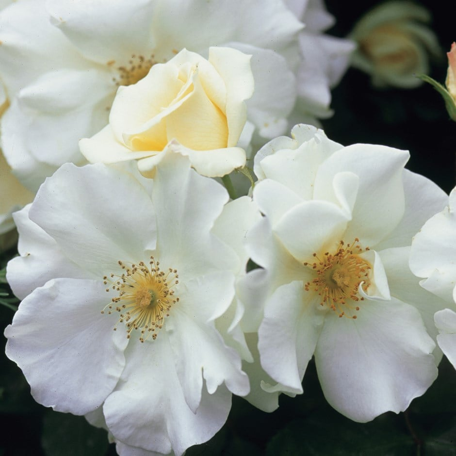 Buy Rose Flower Carpet White Ground Cover Rose Rosa Flower Carpet