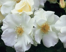 rose Flower Carpet White (ground cover rose)