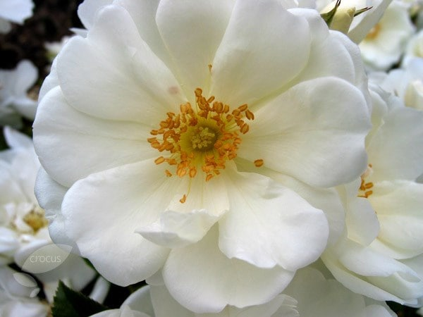 Buy rose flower carpet white ground cover rose rosa flower carpet buy rose flower carpet white ground cover rose rosa flower carpet white noaschnee pbr 1999 delivery by crocus mightylinksfo