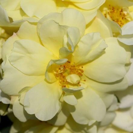 Rosa Flower Carpet Sunshine ('Noason') (PBR)