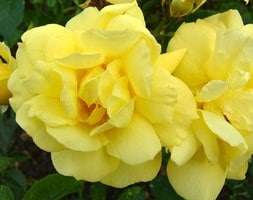rose Flower Carpet Sunshine (ground cover rose)