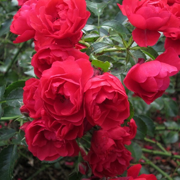 Buy rose Flower Carpet Scarlet (ground cover rose) Rosa ...