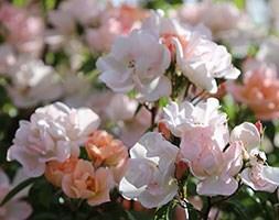 rose Open Arms (climbing minature rose)