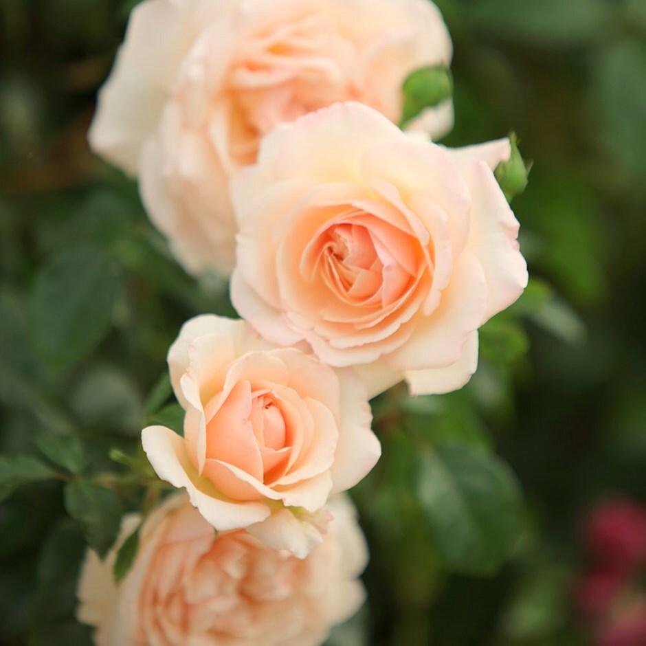 rose Penny Lane (climbing)