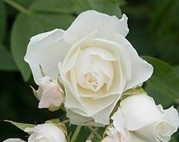 Rosa Iceberg ('Korbin')