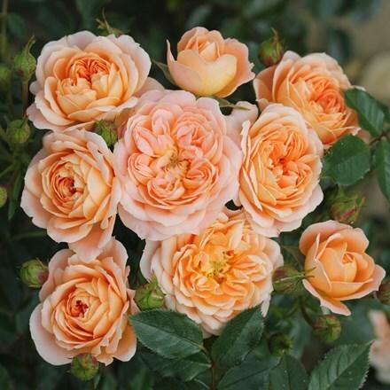 Rosa Sweet Dream ('Fryminicot')