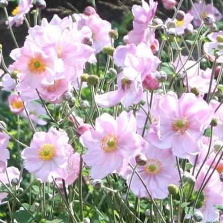 Anemone × hybrida Königin Charlotte