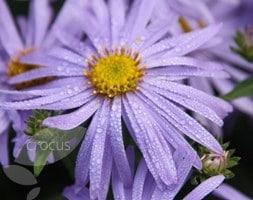 michaelmas daisy - aster Monch