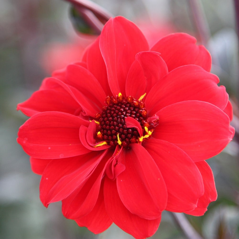 <i>Dahlia</i> 'Bishop of Llandaff'