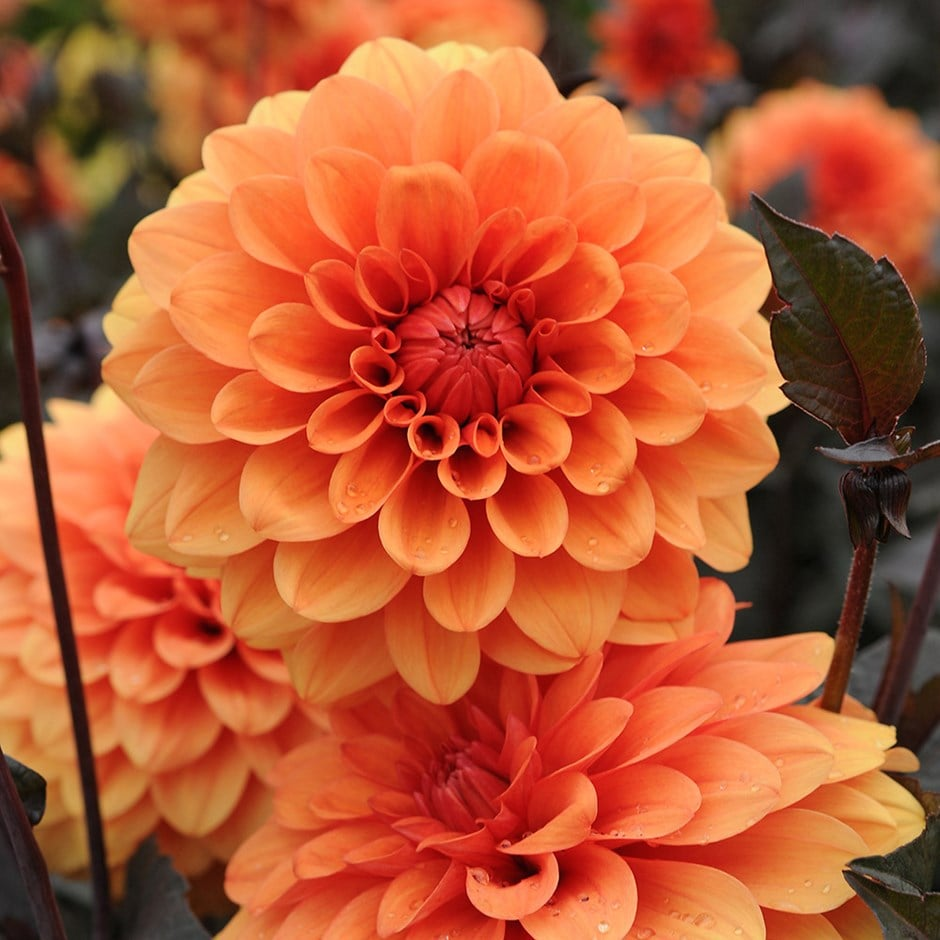 decorative dahlia