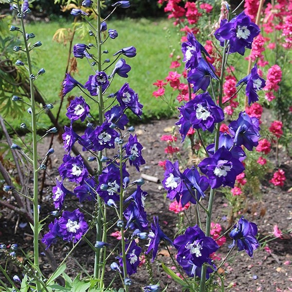 Delphinium King Arthur Group