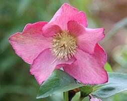 hellebore / lenten rose syn. (Helleborus orientalis)
