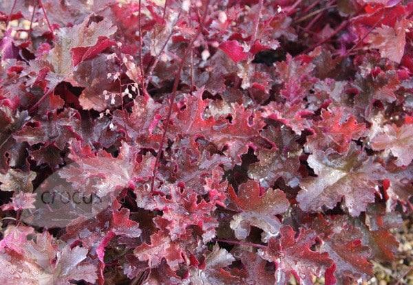 Buy Coral Bells Heuchera Villosa Palace Purple 163 6 99