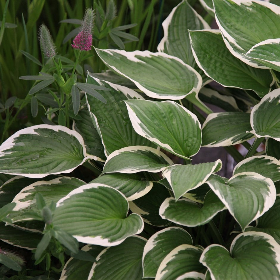 Buy Plantain Lily Hosta Francee Fortunei 1199 Delivery By Crocus