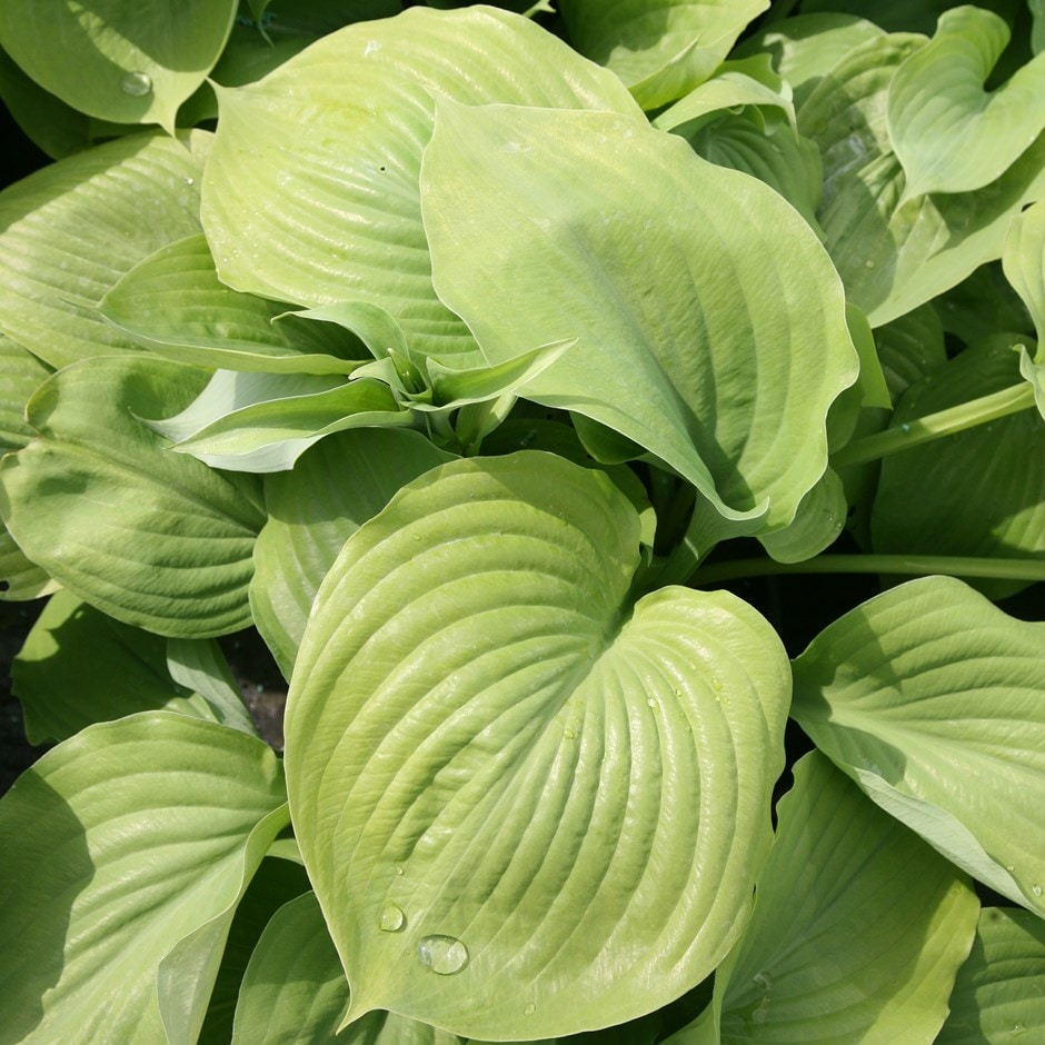 Buy Plantain Lily Hosta Sum And Substance 1199 Delivery By Crocus