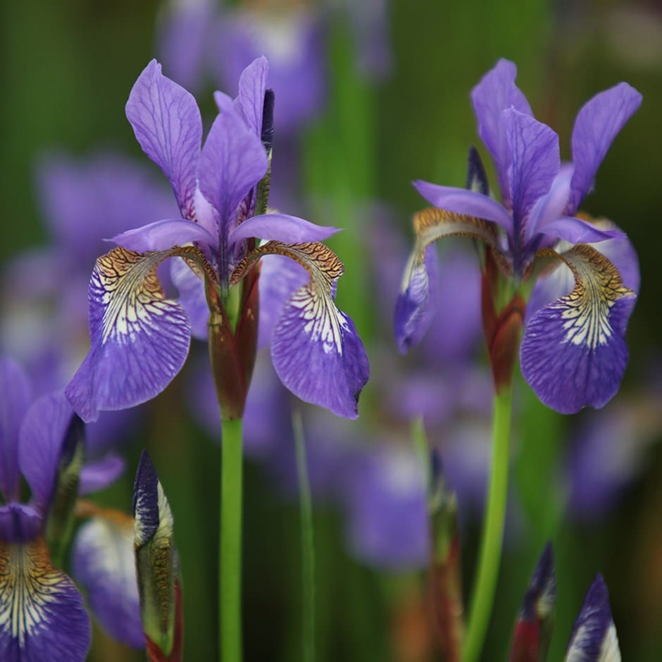 Buy siberian iris iris tropic night 1199 delivery by crocus iris tropic night izmirmasajfo