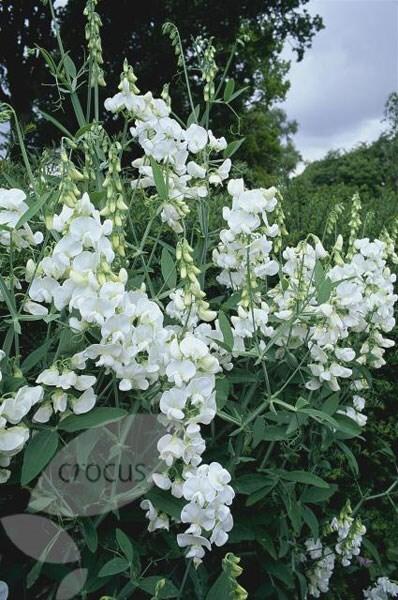 Buy Everlasting Sweet Pea Lathyrus Latifolius White Pearl
