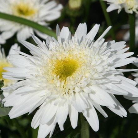Leucanthemum × superbum Wirral Supreme