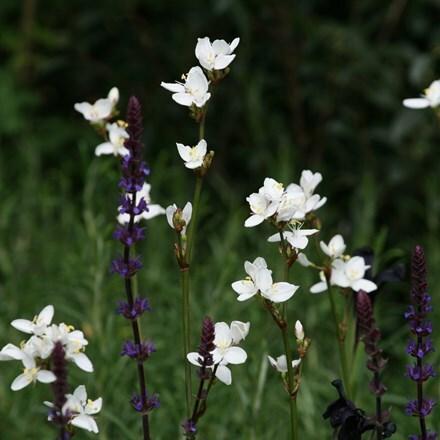 Libertia chilensis