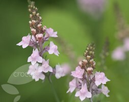 Linaria purpurea Canon Went