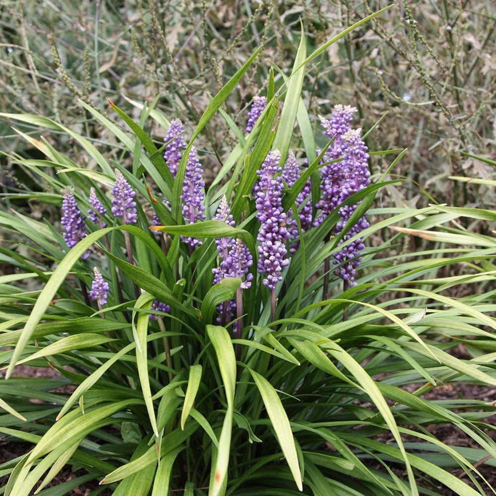 Blue Star Blade Reviews >> Buy big blue lily-turf Liriope muscari: £11.99 Delivery by Crocus