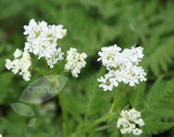 sweet cicely / Myrrhis odorata